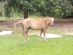 Cavalo Manga Larga.