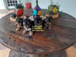 Yorkshire filhotes miniaturas