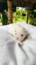 Bulldog Francês- Filhotes
