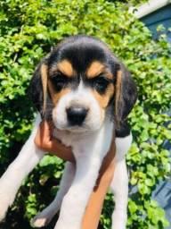 Belos! 13 Polegadas Beagle com Pedigree e Vacina Importada