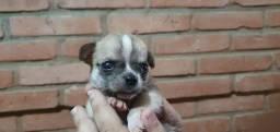 Mini Chihuahua x pinscher 200