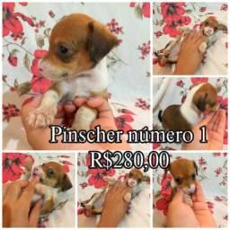 Filhotes Pinscher