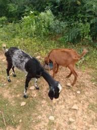 Casal de cabras