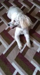 Poodle macho 30cm