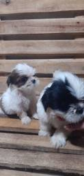 Lindos shih tzu machinhos