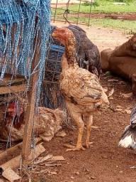 Vende-se galinhas caipira legítima
