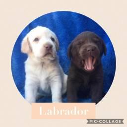 Labrador com pedigree e microchip em ate 18x e