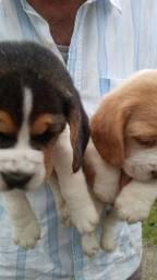 Lindo filhote de Beagles macho
