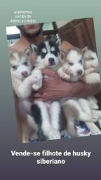 Filhote de husky siberiano puro