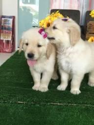 Golden Retriever. Amizade não se compra, mas o seu melhor amigo você compra aqui!