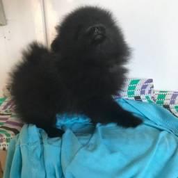 Vende-se filhote de Spitz Alemão/ lulu-da-pomerânia