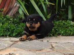 Rottweiler filhotes. O melhor cão de guarda, defesa, companhia