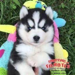 Husky Siberiano lindos filhotes com olhos azuis- temos 5 lojas próprias (11)95932-0322
