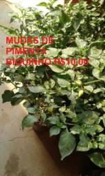 Mudas maracujá, Pimenta, Capim Santo, Hortelã, Puejo e substrato
