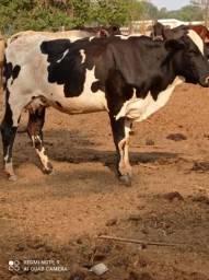 5 vacas leiteiras sendo 2 paridas 3 descendo amojo