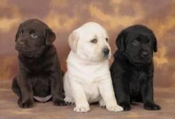 Labrador lindos filhotes com garantias inclusas temos outras raças