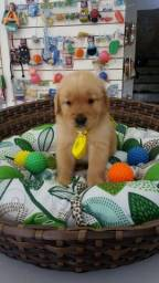 GOLDEN RETRIEVER AQUI NO GOLD DOG