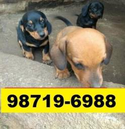 Canil Filhotes Pet Cães BH Basset Bulldog Fox Lulu Yorkshire Maltês Shihtzu Beagle Pug