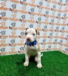 Filhotes de Pit Bull é no Da Madre Pet Shop