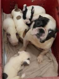 Lindos bebês Bulldogue Francês
