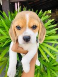 Amor beagle porte pequeno  macho e fêmea com pedigree