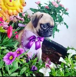 Baby Pug fêmea ?