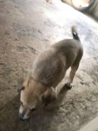 Doação de cachorros Goldem misturada
