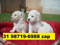 Canil Filhotes Cães Premium BH Poodle Yorkshire Shihtzu Maltês Basset Bulldog Lulu