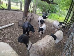 Lote de ovelhas e carneiros dorper e santa Inês