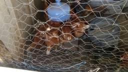Vende-se 9 galinhas poedeiras e um frango