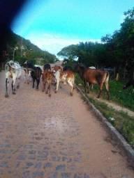Rebanho com 14 animais (vacas)