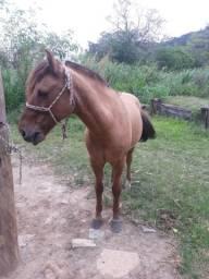Cavalo criolo top
