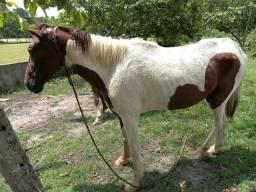 Vendo cavalo pampa 2000