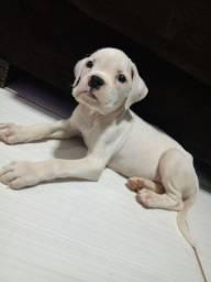 Vendo ou troco filhote raça Boxer albino (raro )
