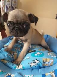 Último Filhote Pug macho
