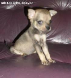 Chihuahua x pinscher so 200 cada
