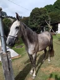 Cavalo M.M castrado registrado
