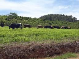 Vacas leiteiras +equipamentos