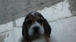 Beagle 13 polegadas, Tricolores