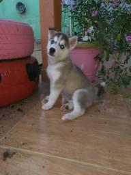 Vendo um lindo de Husky Siberiano