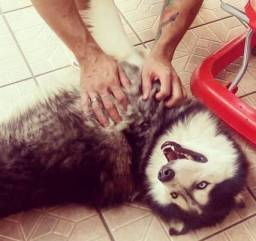 Husky Siberiano macho disponível para cobertura