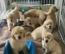 Golden Retriever Filhotes Recibo Garantia de saúde Pedigree