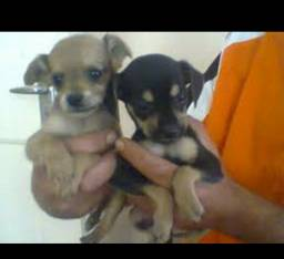 Chihuahua x pinscher mini