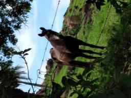 Égua mangalarga machadeira idade 9anos cor preta