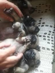 Filhotes Pugs lindos!