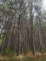 Compro florestas de pinus Caçador SC e região