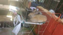 Casal de coelho comum