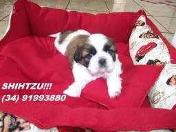 Shihtzu Machinho Disponível com Pedigree, Vacinado a Pronta Entrega