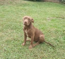 Pitbull Monster Fêmea 6 meses