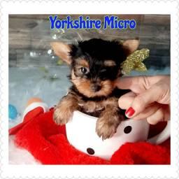Lindo yorkishire terrier micrinho ( Minúsculo)